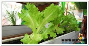 Selada, salah satu pilihan tanaman untuk pekarangan (dokumentasi pribadi)